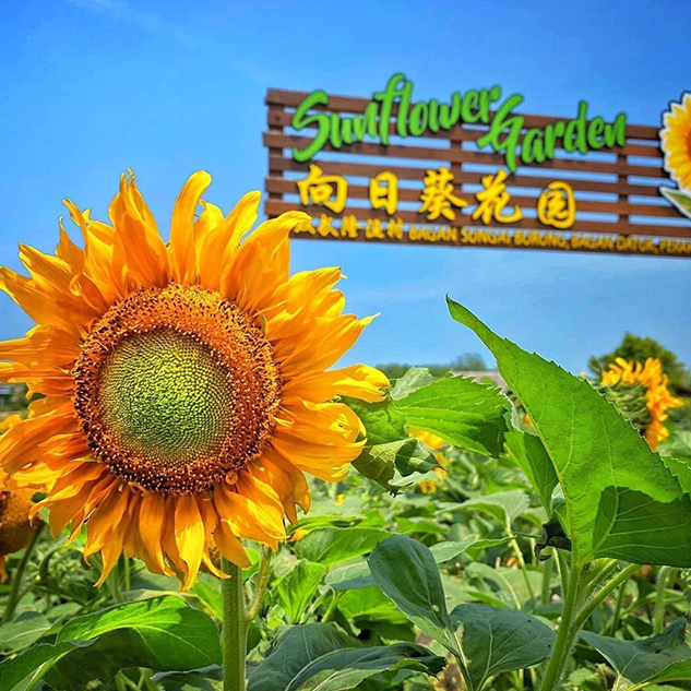 Welcome Your 2021 with Sunflowers